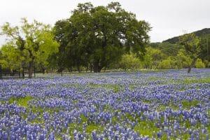 Bluebonnet Spots Around Austin